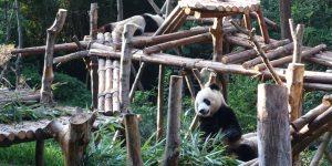 Pandabär!