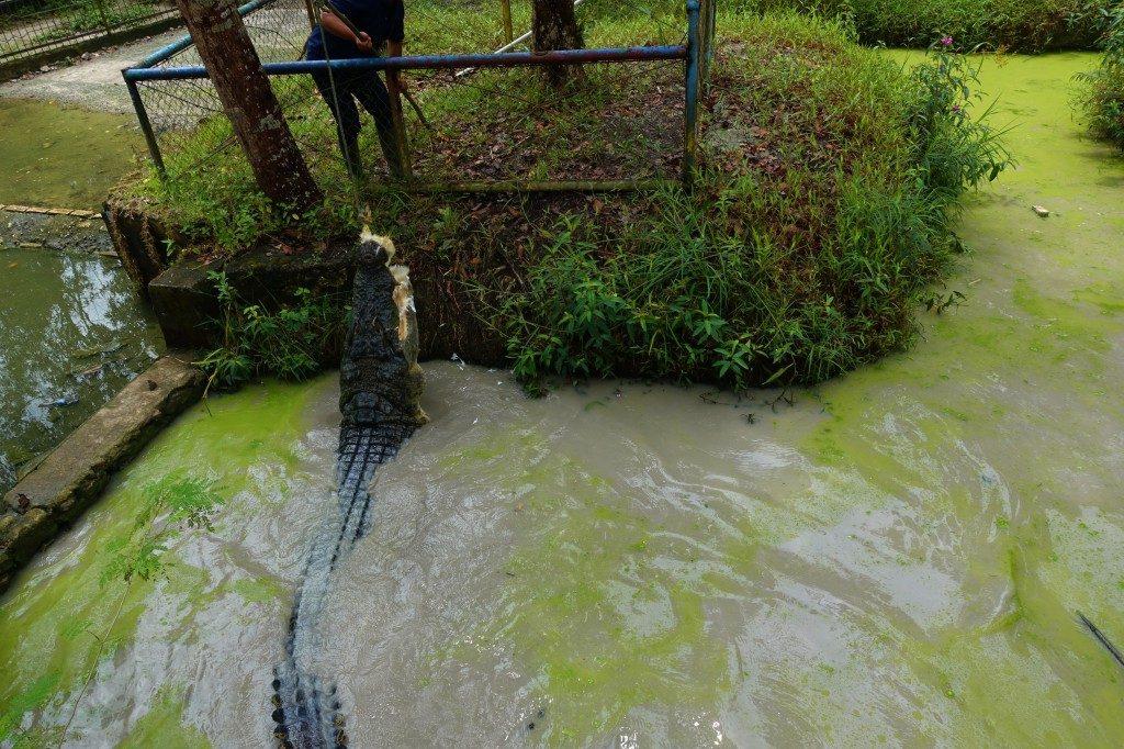 Alligator Fütterung, extra für die Cruiser