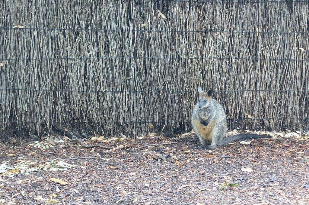 Kängugus kleiner Bruder, Wallaby