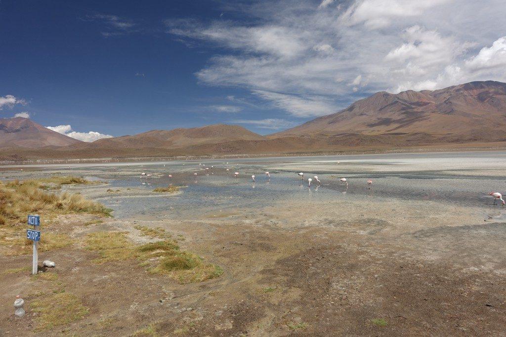 Grüne Lagune mit vielen Flamingos