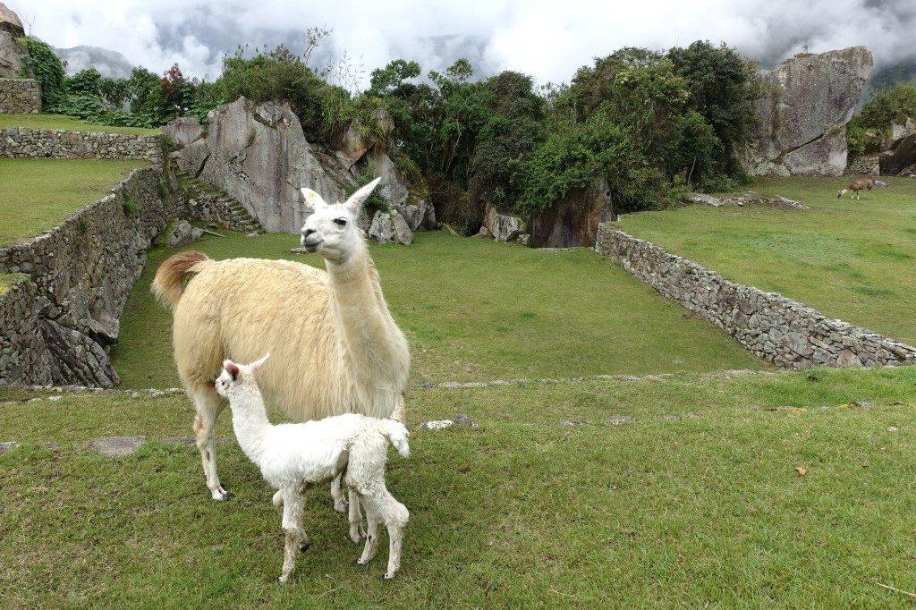 Zwei Bewohner von Machu Picchu