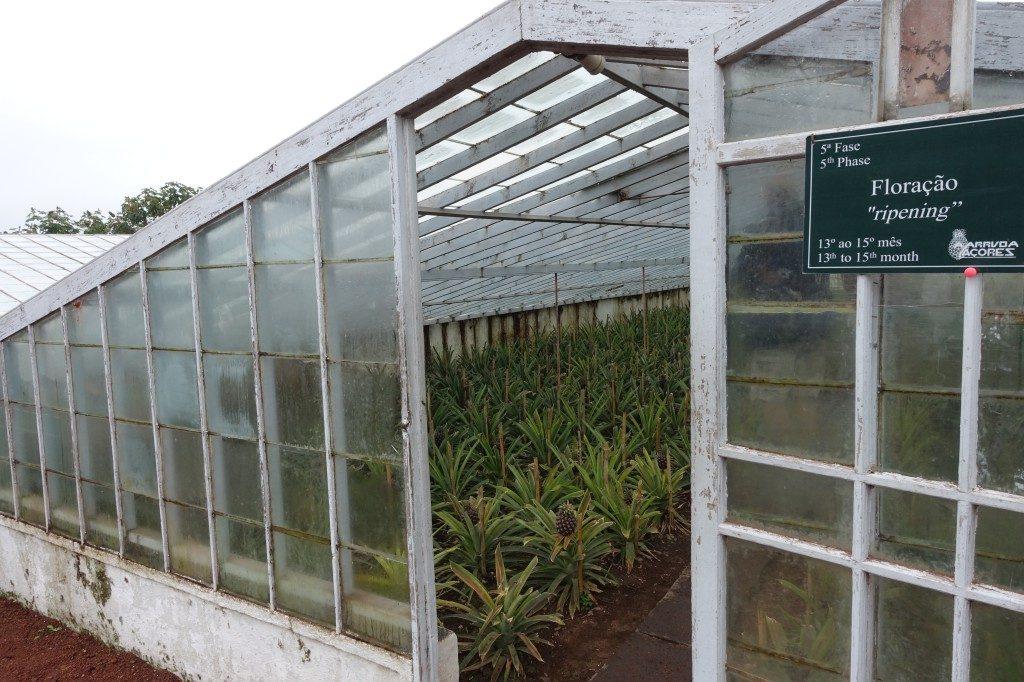 Ananas-Plantagen auf Sao Miguel